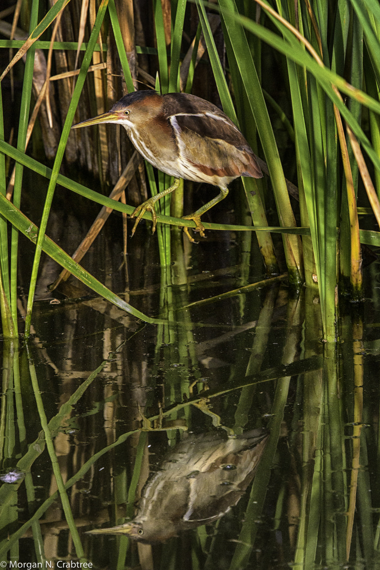 Photograph Least Bittern reflection by Morgan Crabtree on 500px