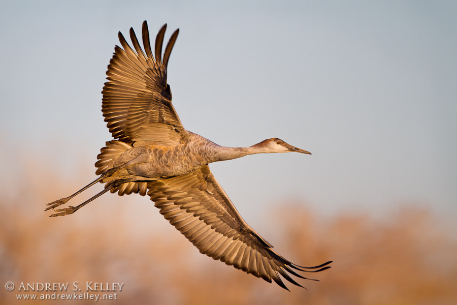 Photograph Juvenile Sandhill Crane in Flight by Andrew Kelley on 500px