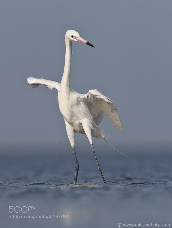 Photograph White-morph Reddish Egret : Mustang Island SP : Port Aransas, TX by Michael Milicia on 500px