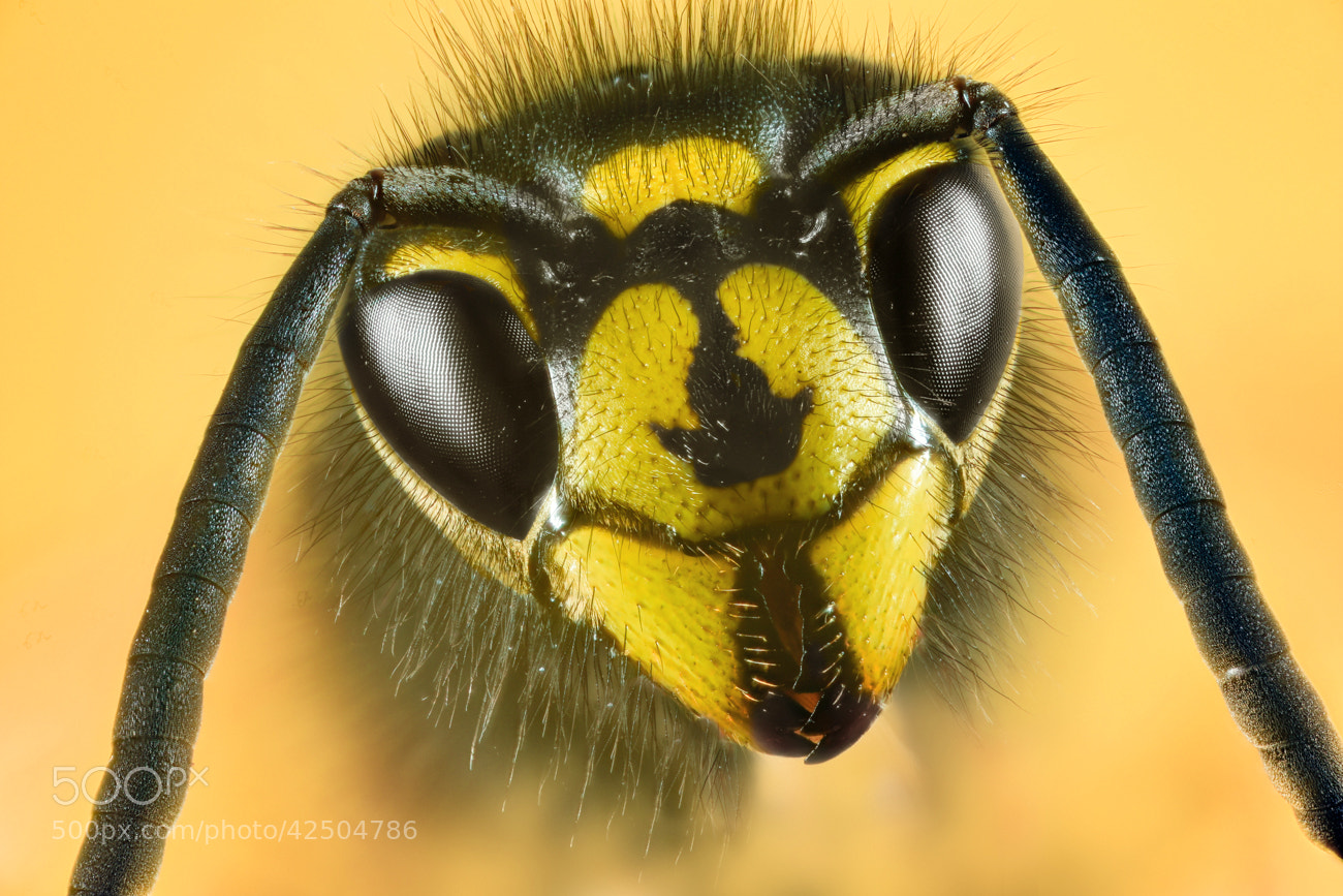 Photograph Wasp by Billy Currie on 500px