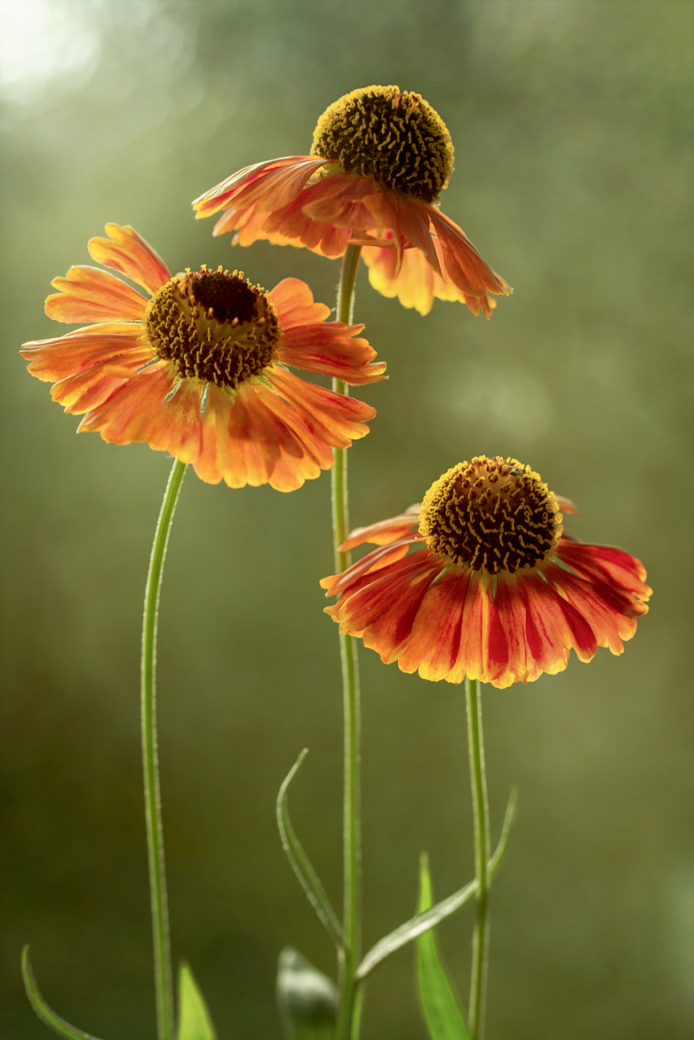 Photograph Heleniums by Mandy Disher on 500px