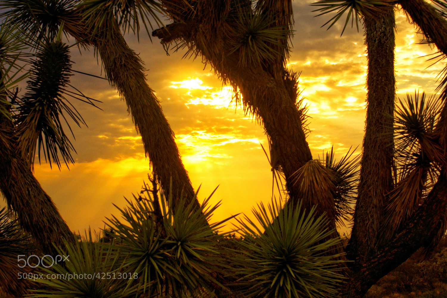 Photograph Joshua tree by James Green on 500px