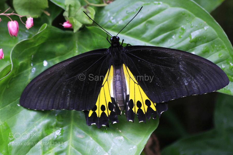 Photograph Southern Birdwing by Santosh Namby on 500px