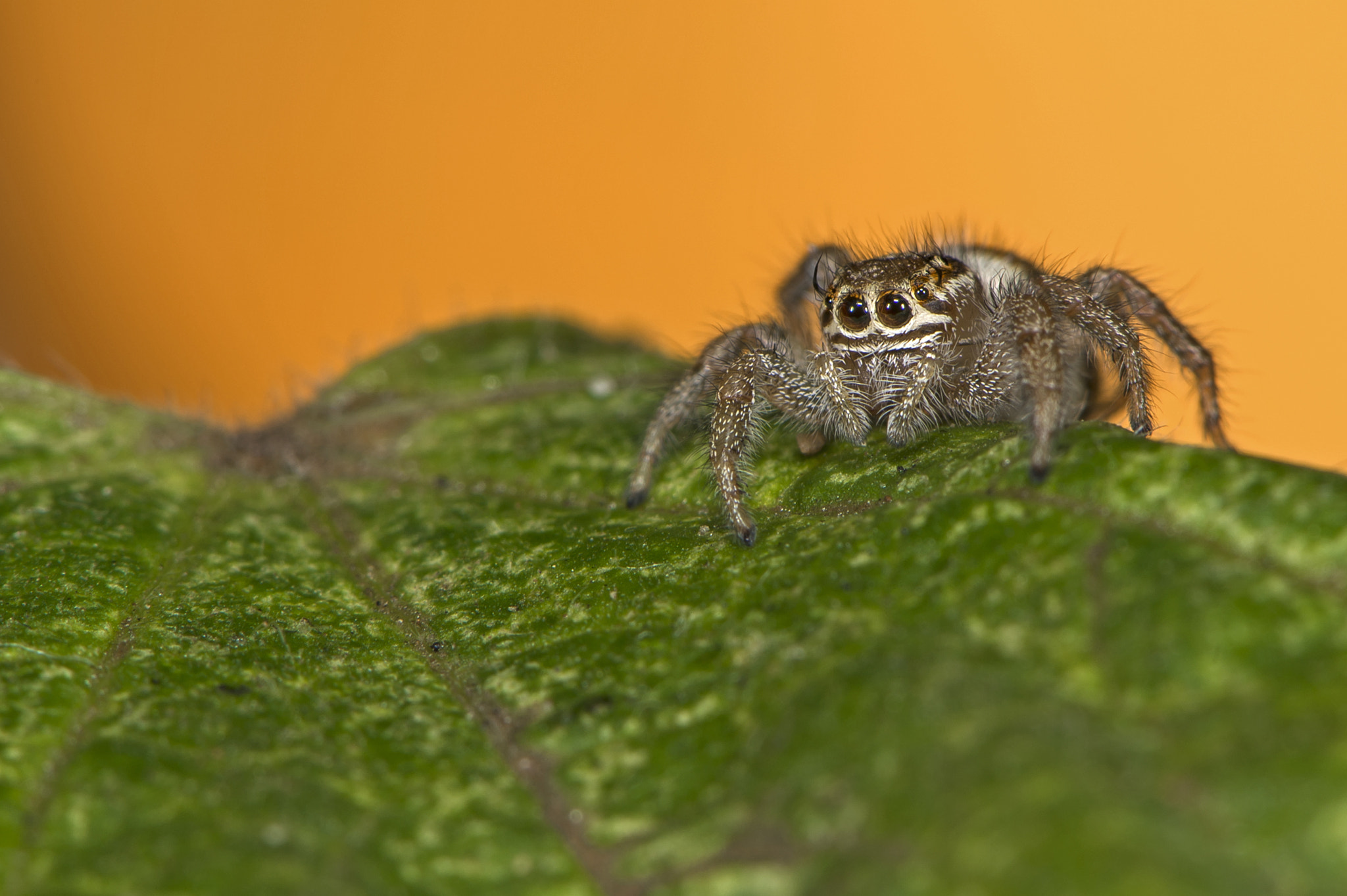 Photograph Jumping Spider by igano Kabamaru on 500px