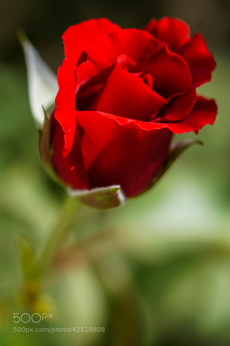Photograph Lone Rose by Alyssa Paraggio on 500px