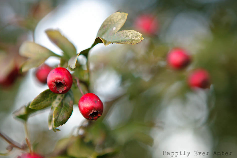 Photograph winter berries by Amber Ellen on 500px