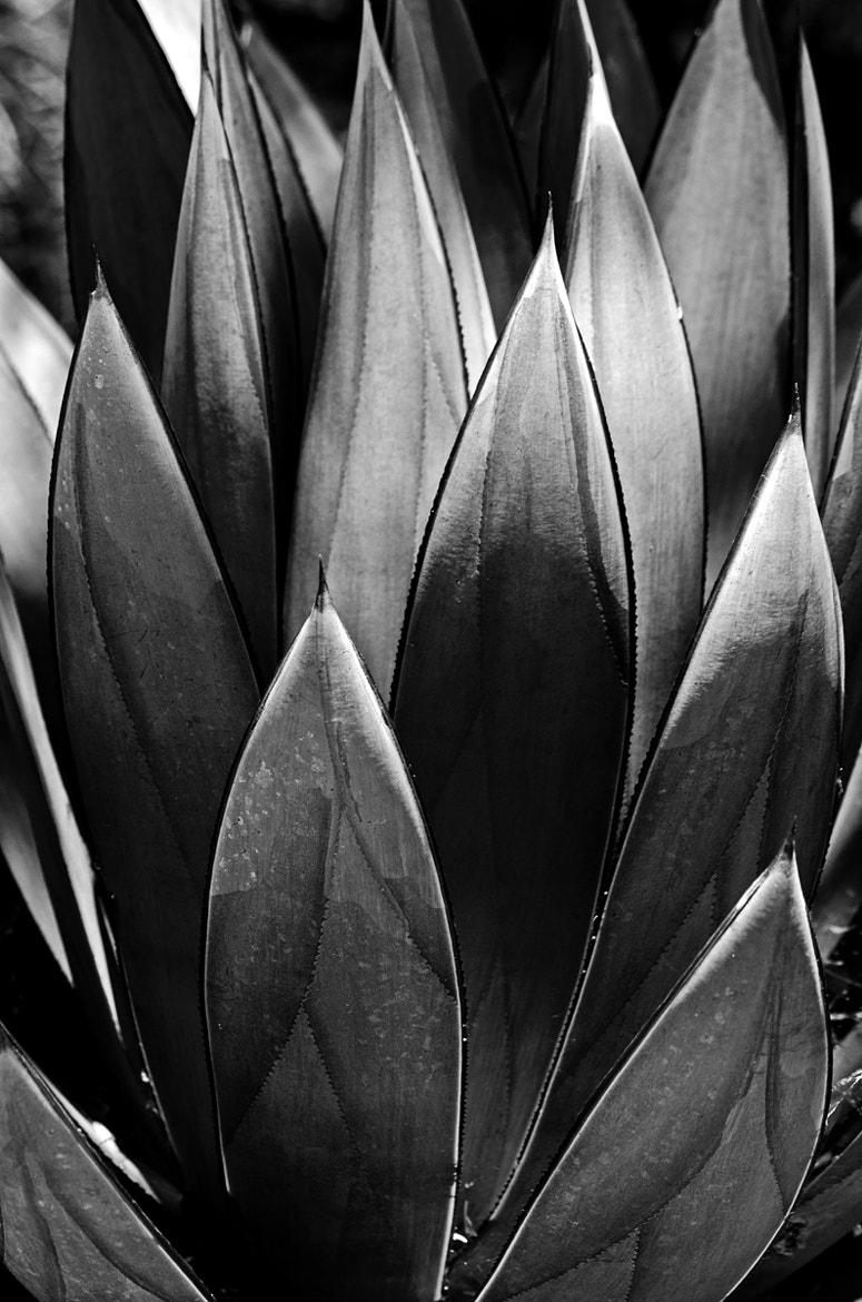Photograph Agave 2 by Darrin Snyder on 500px