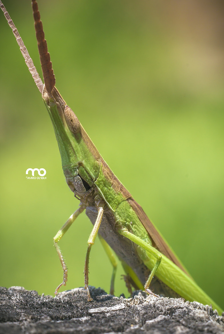 Photograph Cattail Toothpick Grasshopper by Mario Olvera on 500px