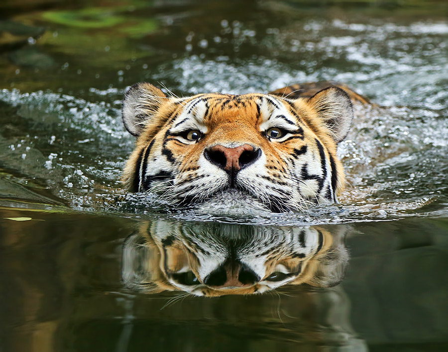 Tiger photography -A matter of perspective by Klaus Wiese on 500px.com
