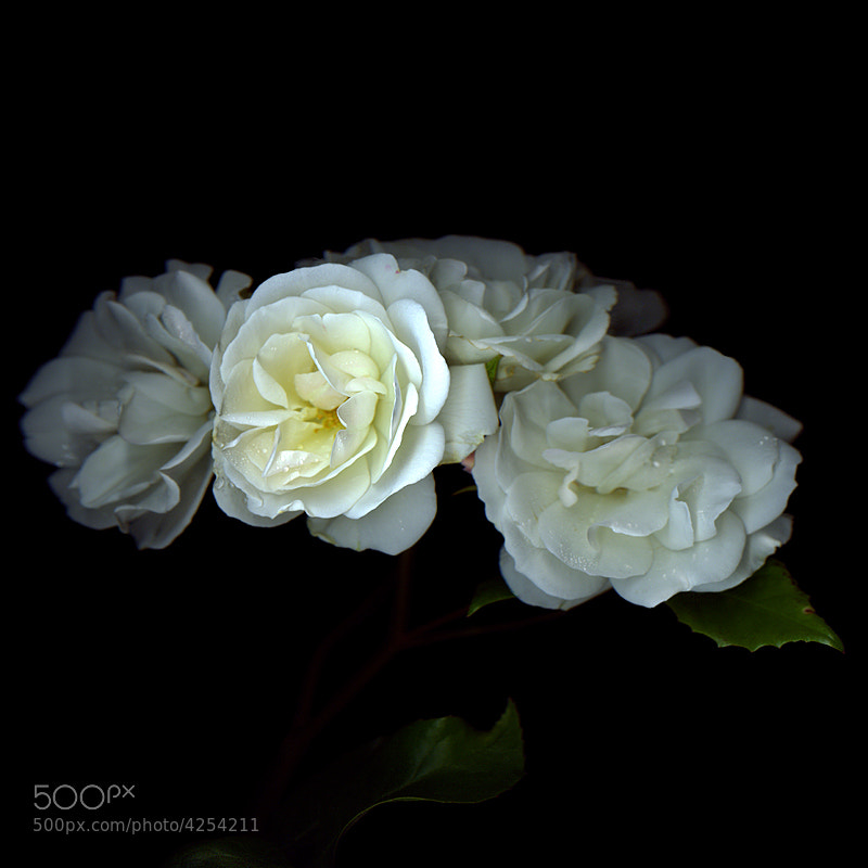 WHITE 'SUMMER' ROSES FROM OUR GARDEN... by Magda indigo (magdaindigo)) on 500px.com