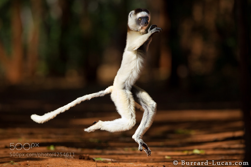"""A break from Ethiopia! Here's one of our favourite shots from Madagascar - a Verreaux's Sifaka travelling over open ground in its characteristic jumping style.  If you would like to photograph these animals for yourself, take a look at my Madagascar photo tour: http://www.burrard-lucas.com/photo-tours.html  - More <a href=""""http://www.burrard-lucas.com/madagascar/"""">Madagascar photos</a>"""