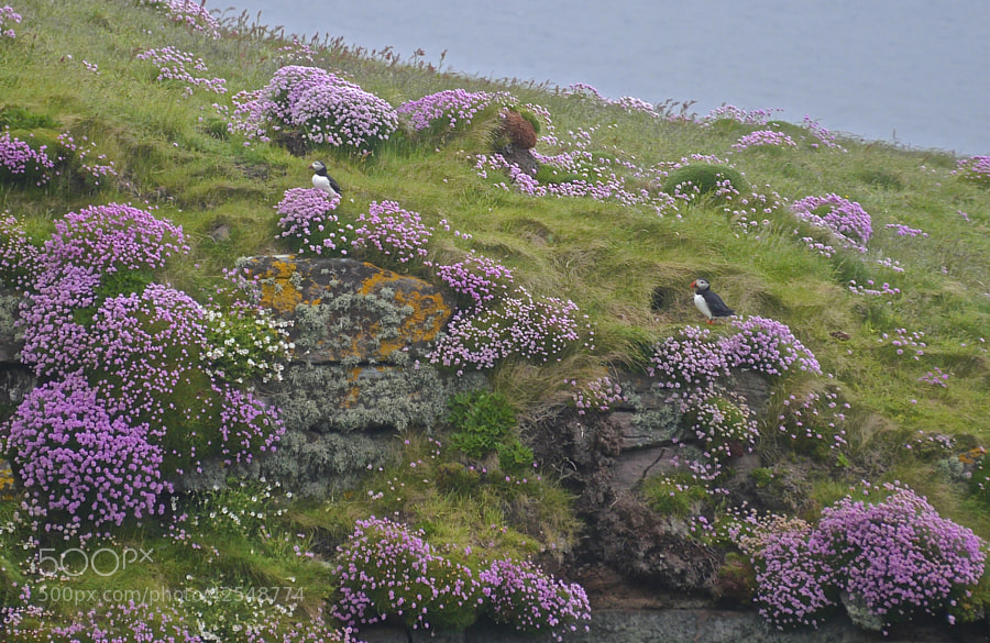Photograph Puffins and their Burrow by Giulia Carlozzo on 500px
