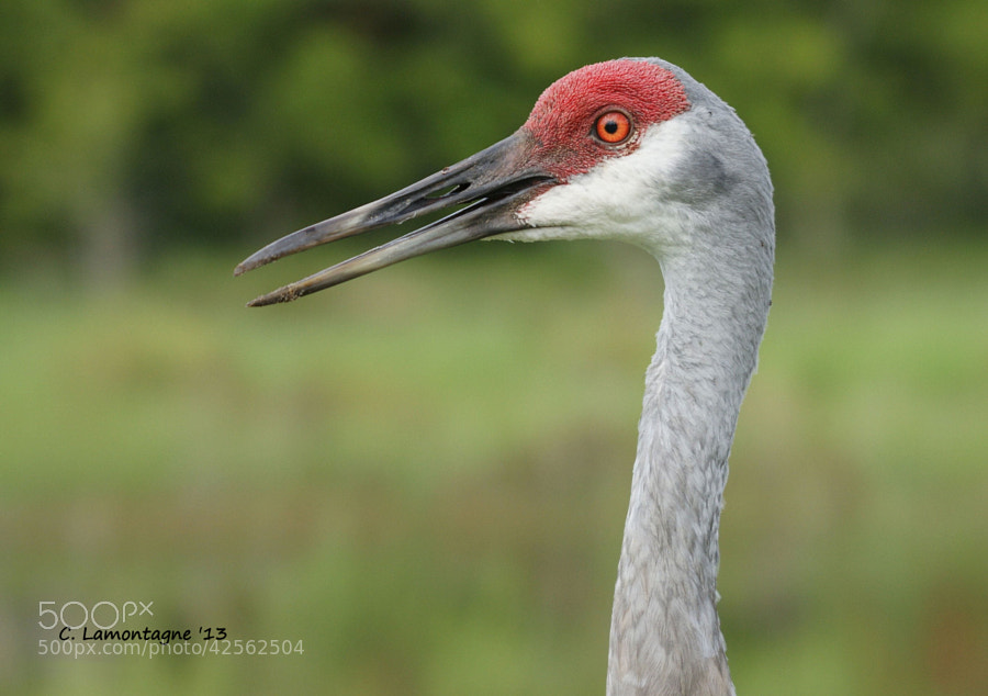 Sandhill Crane just a block away from my house in Kissimmee, Florida. They don't mind me getting close for a few photos :)