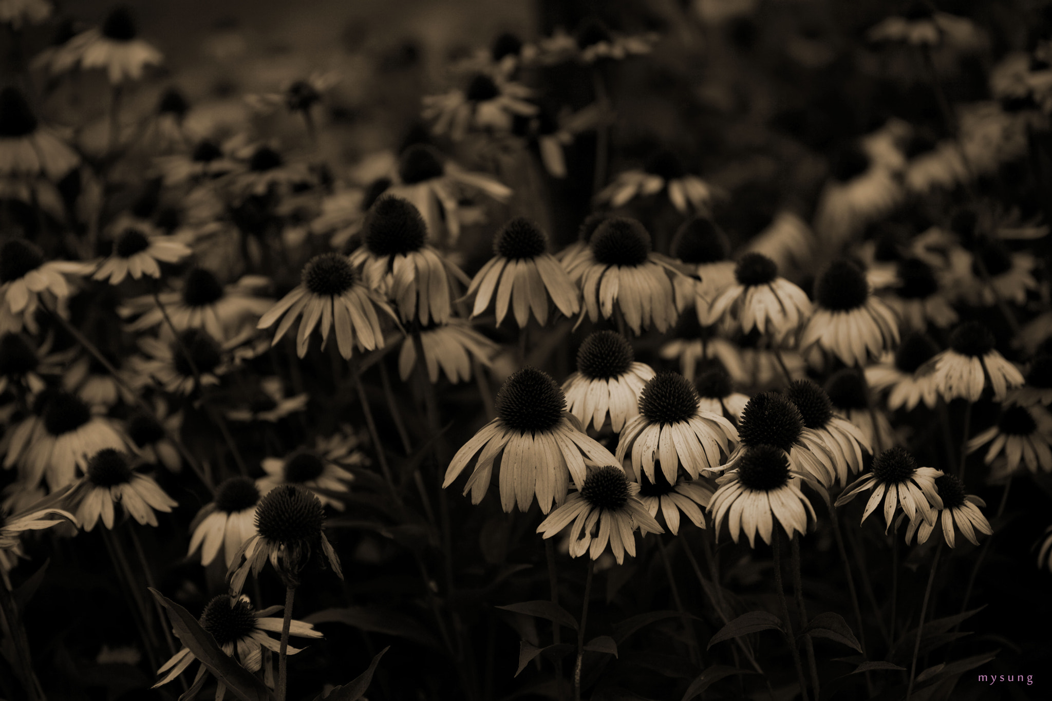 Photograph Echinacea by mi yong sung on 500px
