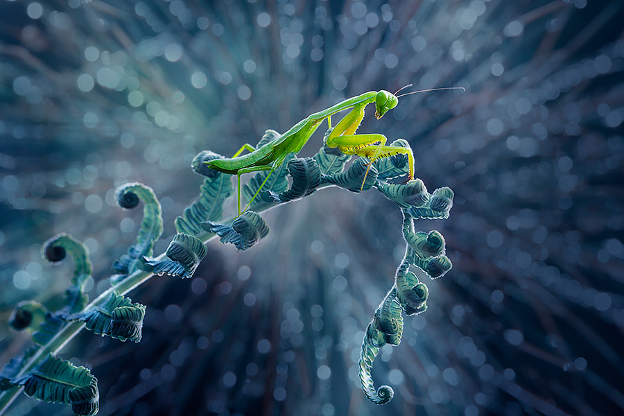 Photograph disco mantis by  Hendy Mp on 500px