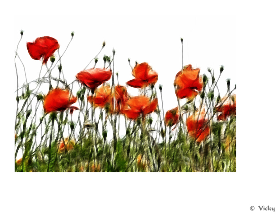 Photograph poppies by Vicky Dens on 500px