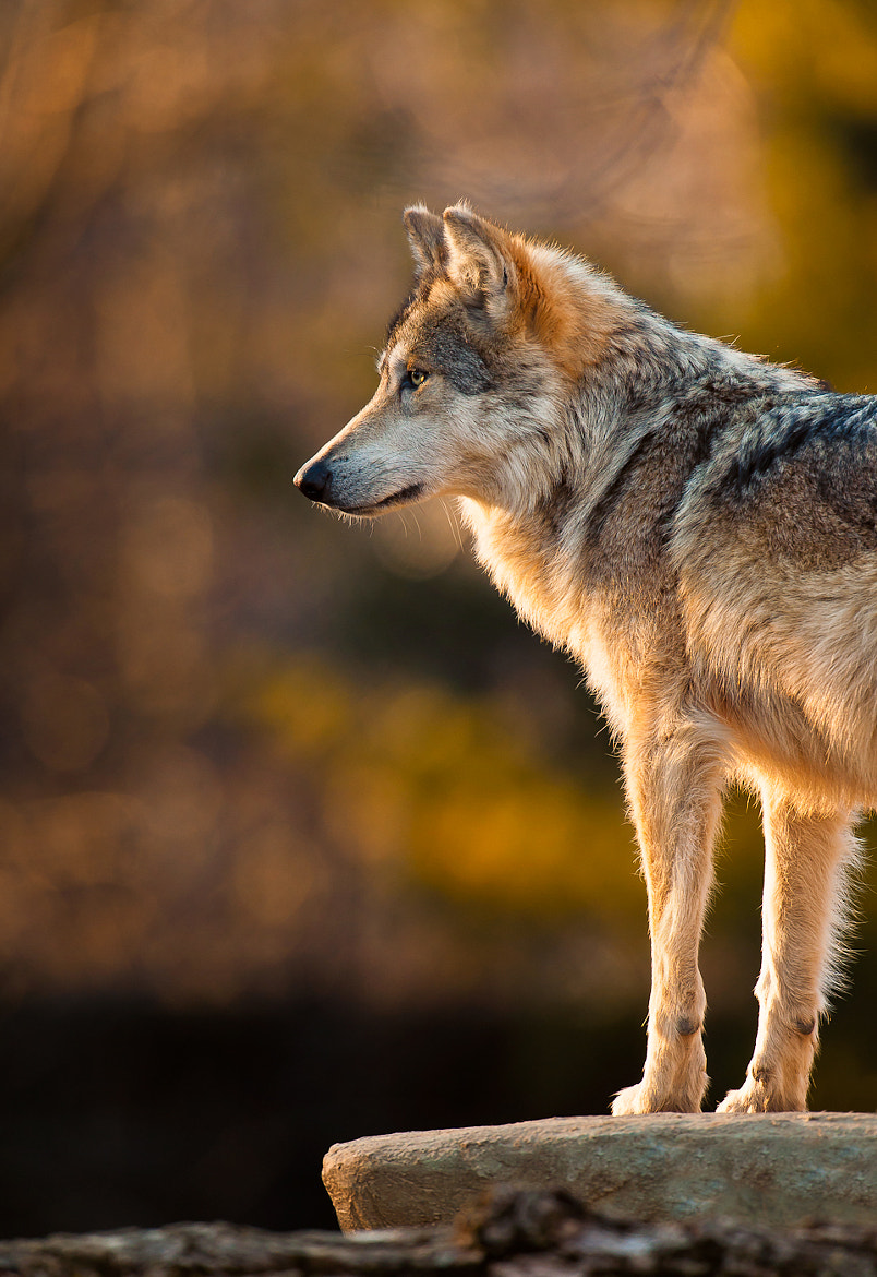 Photograph Mexican gray wolf by Glenn Nagel on 500px