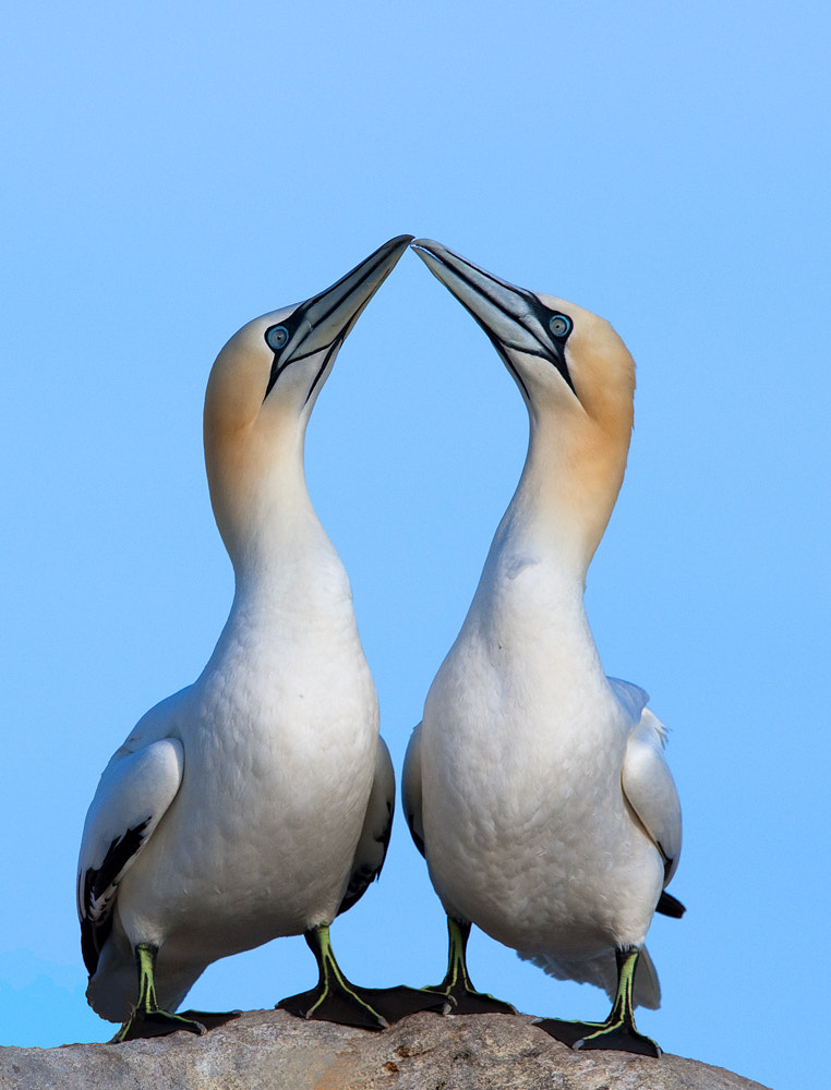 Photograph Gannets greeting by David  Harris on 500px