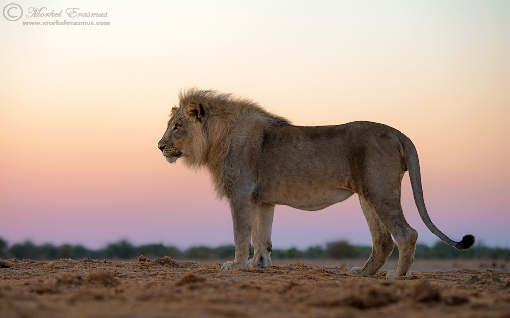 Photograph Pastel Lion by Morkel Erasmus on 500px