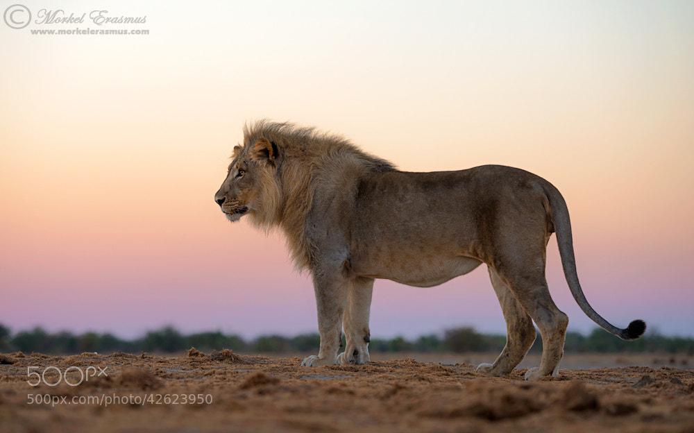 Photograph Pastel Lion by Morkel Erasmus on 500px