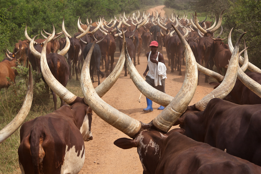 Photograph Herder with his Ankole-Watusi Cattle in Uganda by Wolfgang Wörndl on 500px