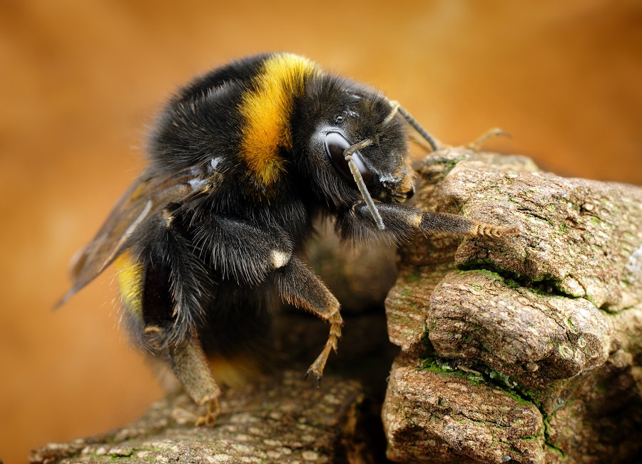 Photograph Bumble bee by Tomas Rak on 500px