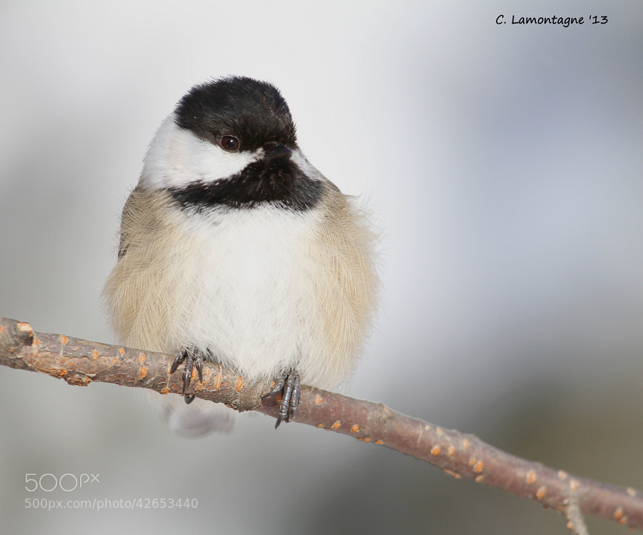 Black Capped Chickadee. This is my favorite song bird and is an all year resident in my area. I don't see them much in summer as they are busy raising their young deeper in the forests but in winter they stay close to the feeders and even eat from my hand. They're pretty much the only thing I like about winter :)