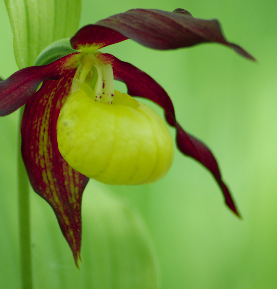 Photograph Orchid, Guckusko by Sofia Cederholm on 500px