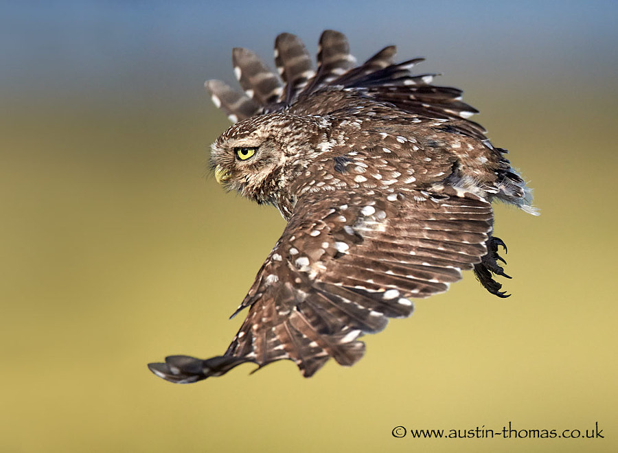 Little Owl in flight...