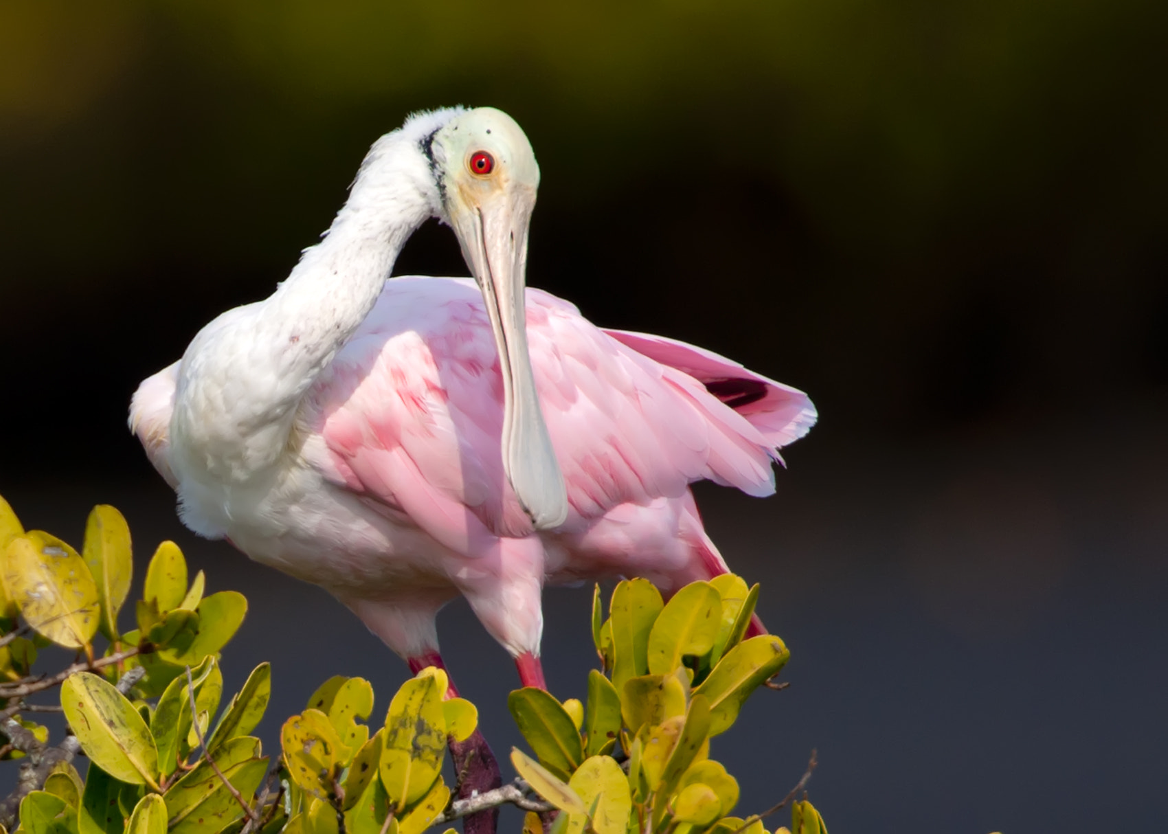 Photograph Spoonbill at rest. by Jim Hansen on 500px