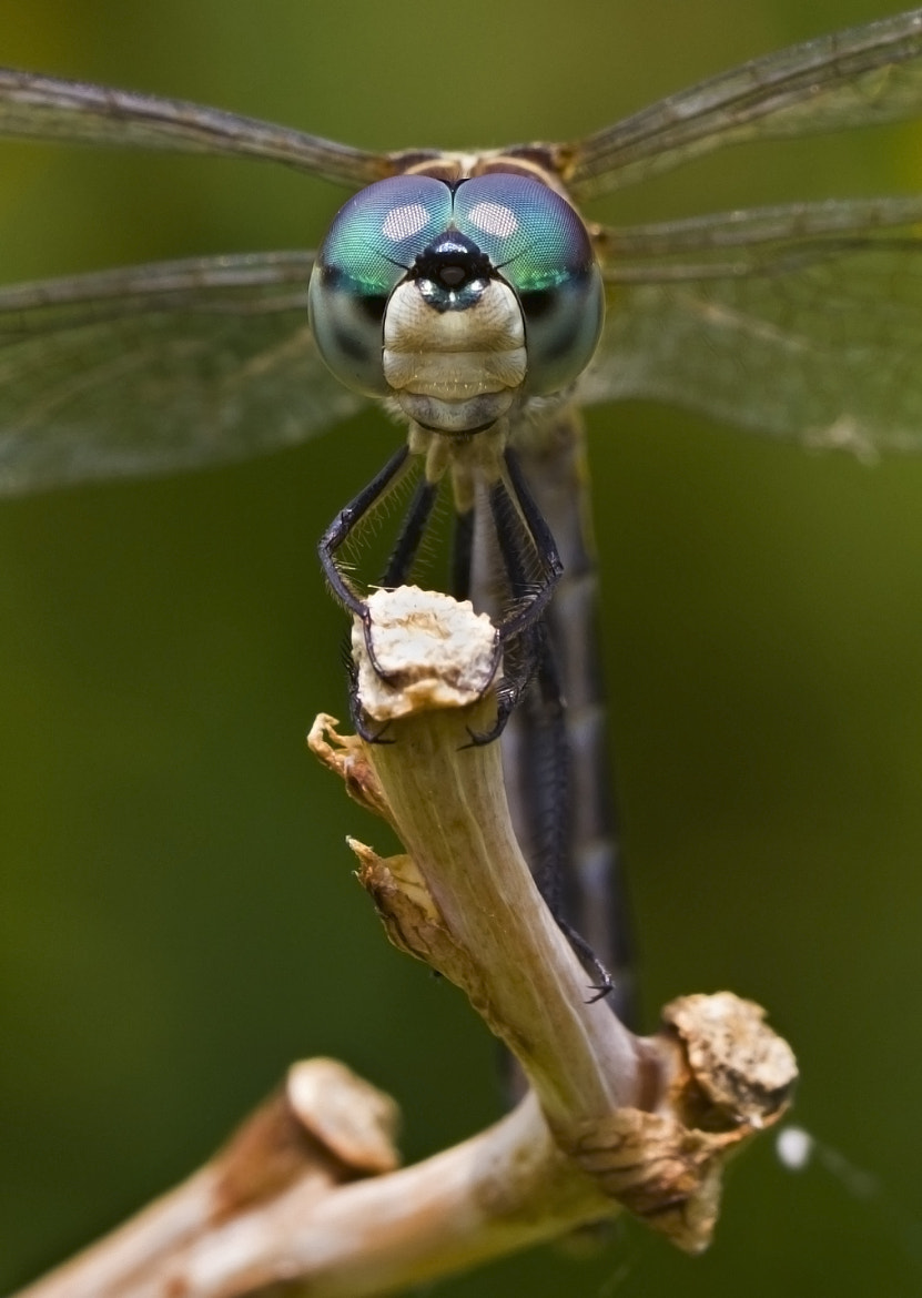 Photograph Dragonfly Gaze by Lorraine Hudgins on 500px