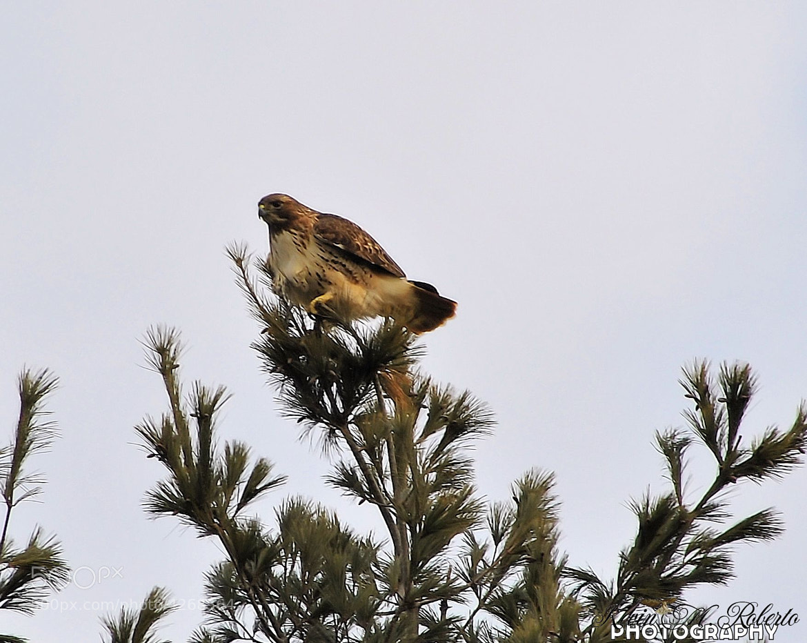 Photograph Red Tail Hawk perched by Kevin Roberto on 500px