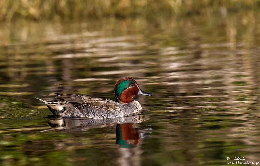 Photograph Green-Wing-Teal-drake. by Don  Hamilton Jr. on 500px