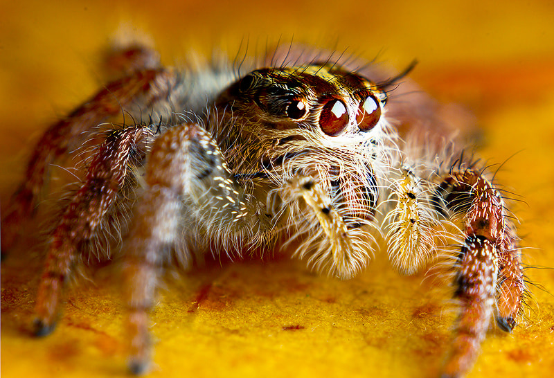 Photograph jumping spider by Kiattisak Thongtawee on 500px