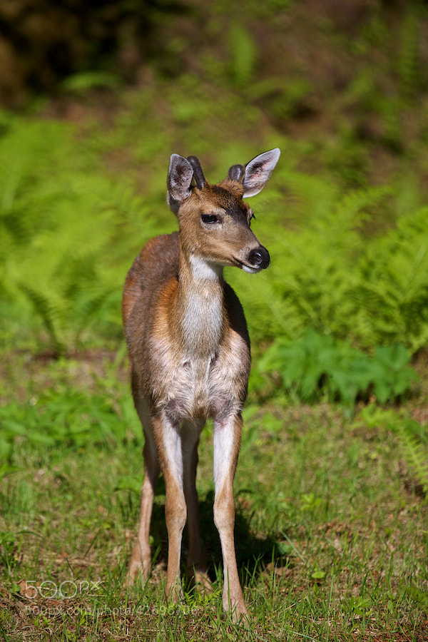 Photograph Sitka Deer 1 by Buck Shreck on 500px