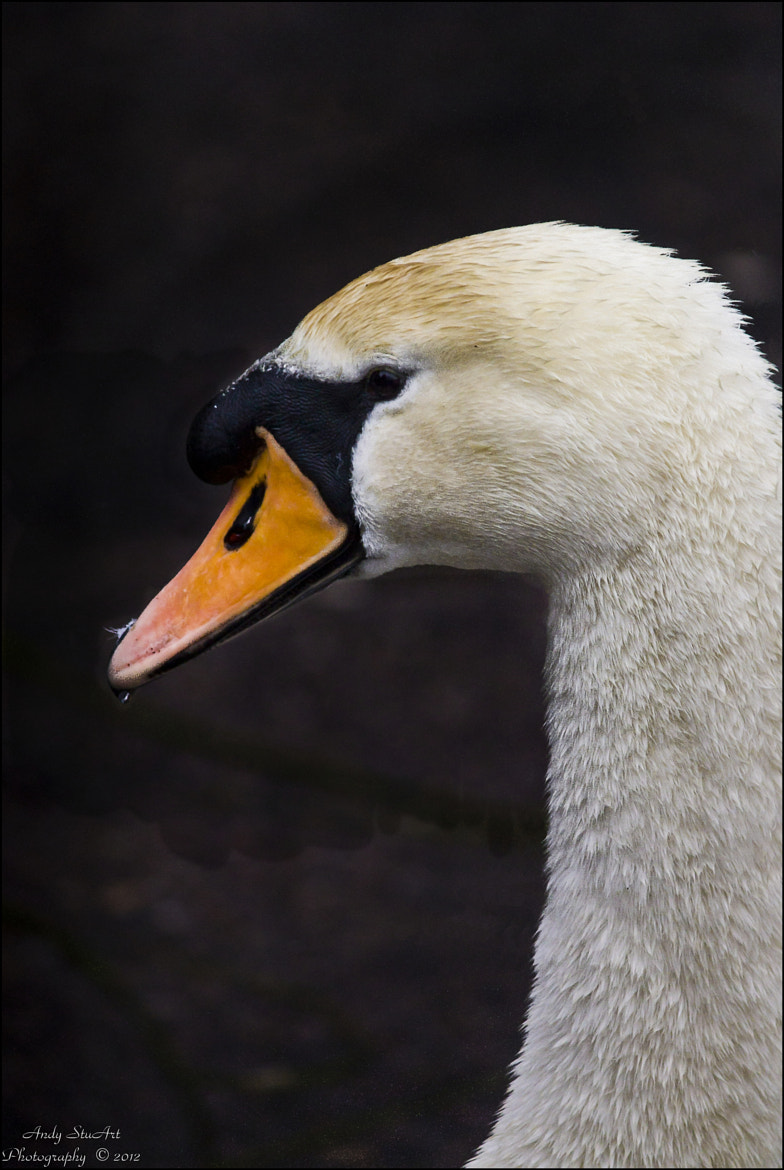 Photograph Mute Swan by Andy Stuart on 500px