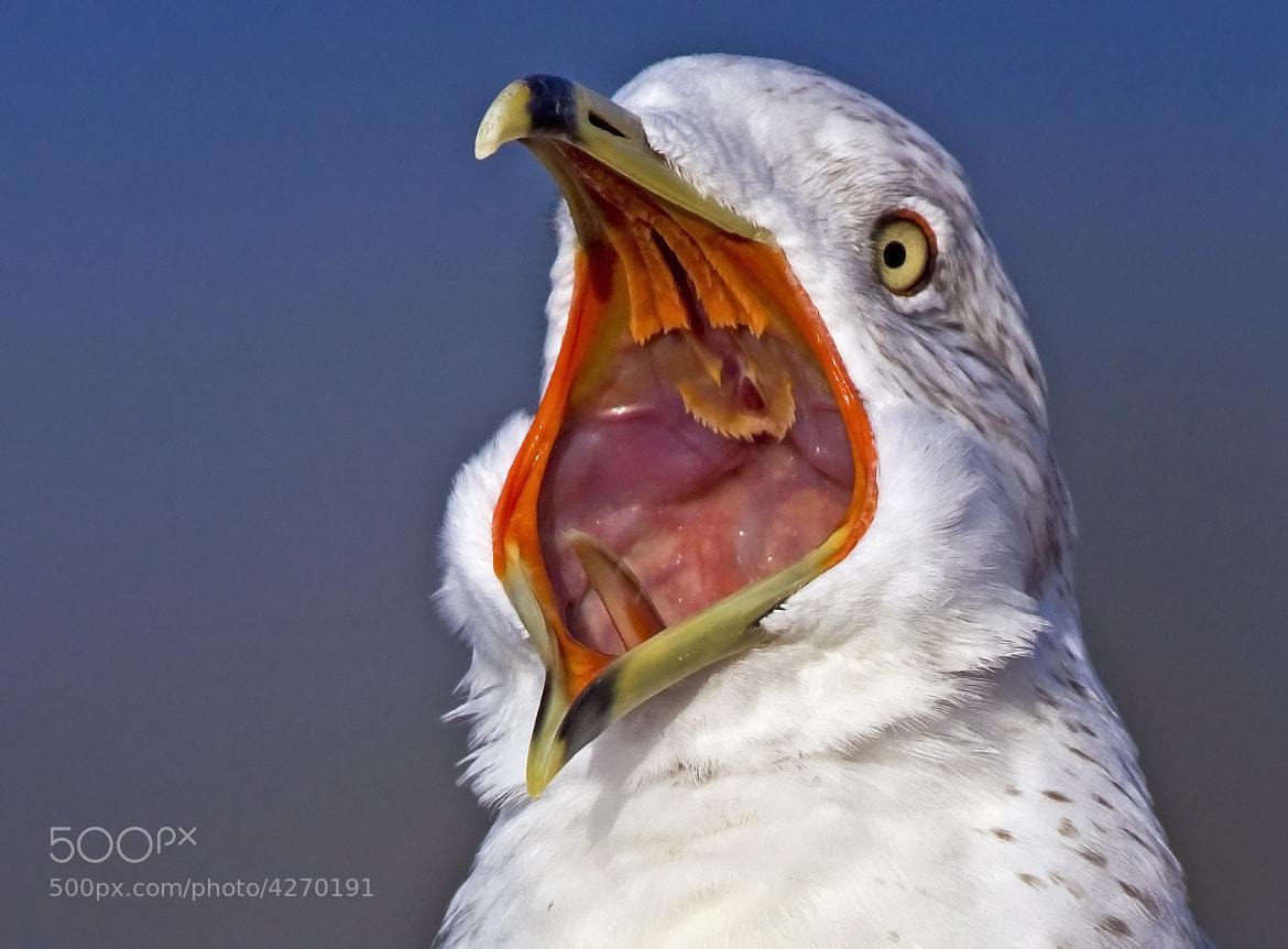 Photograph Loud Mouth by Lorraine Hudgins on 500px