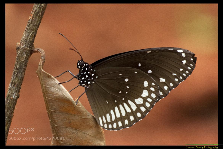 Photograph Euploea core by Santosh Namby on 500px
