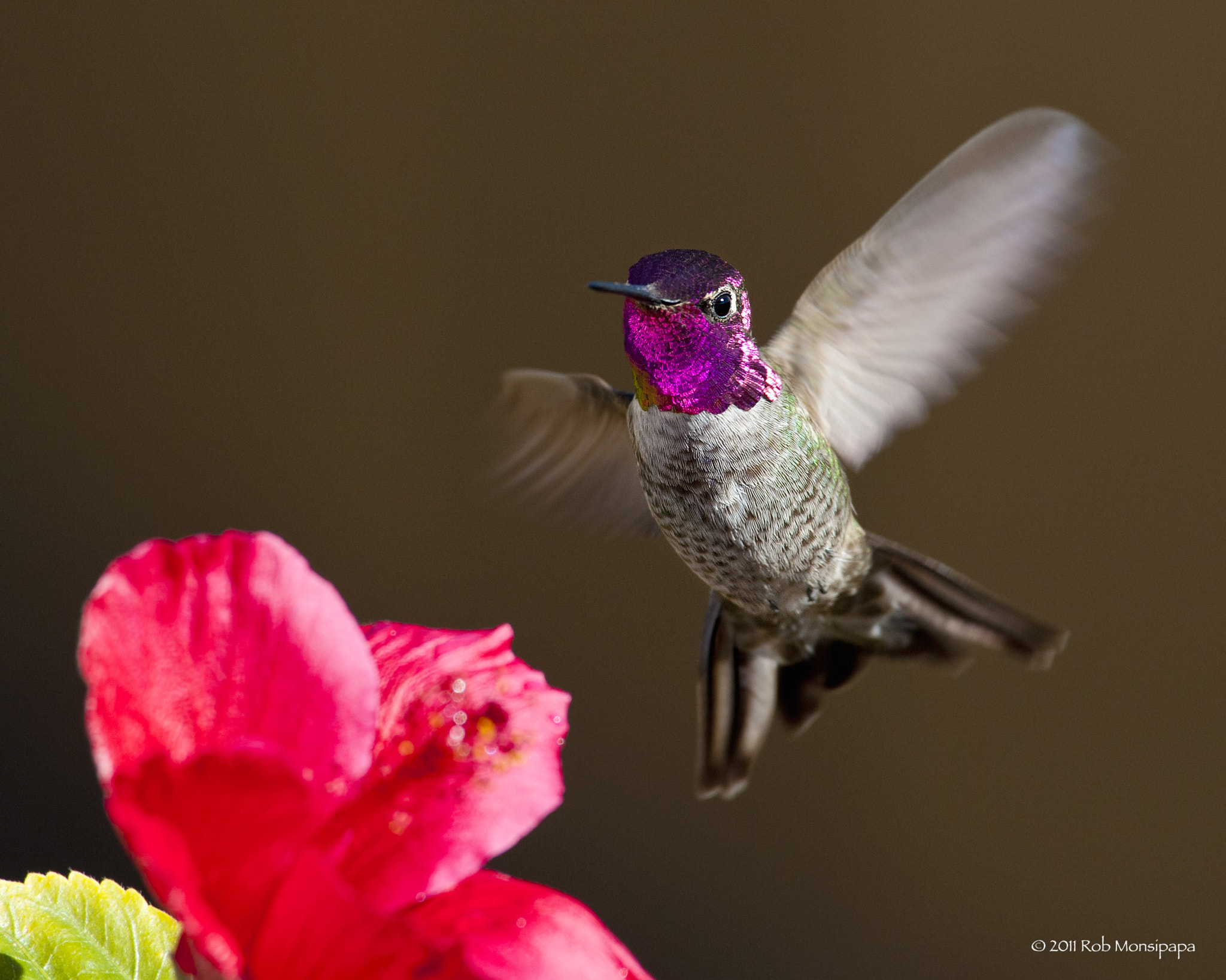 Photograph Anna's Hummingbird by Rob Monsipapa on 500px