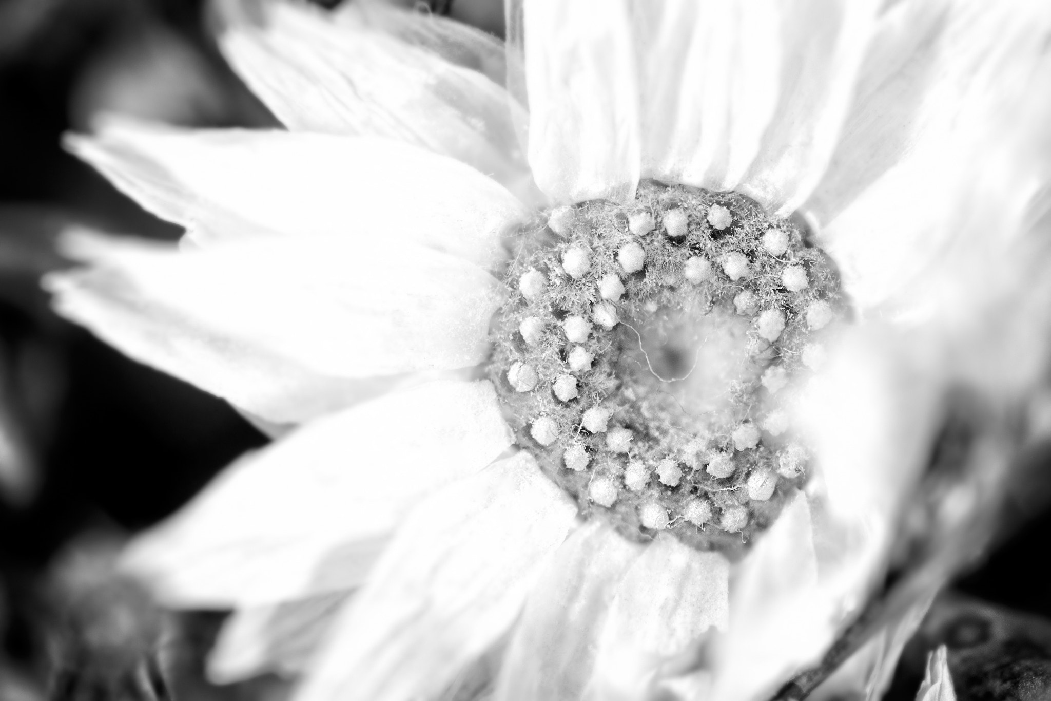 Photograph Blüte (2) sw by Franz Engels on 500px