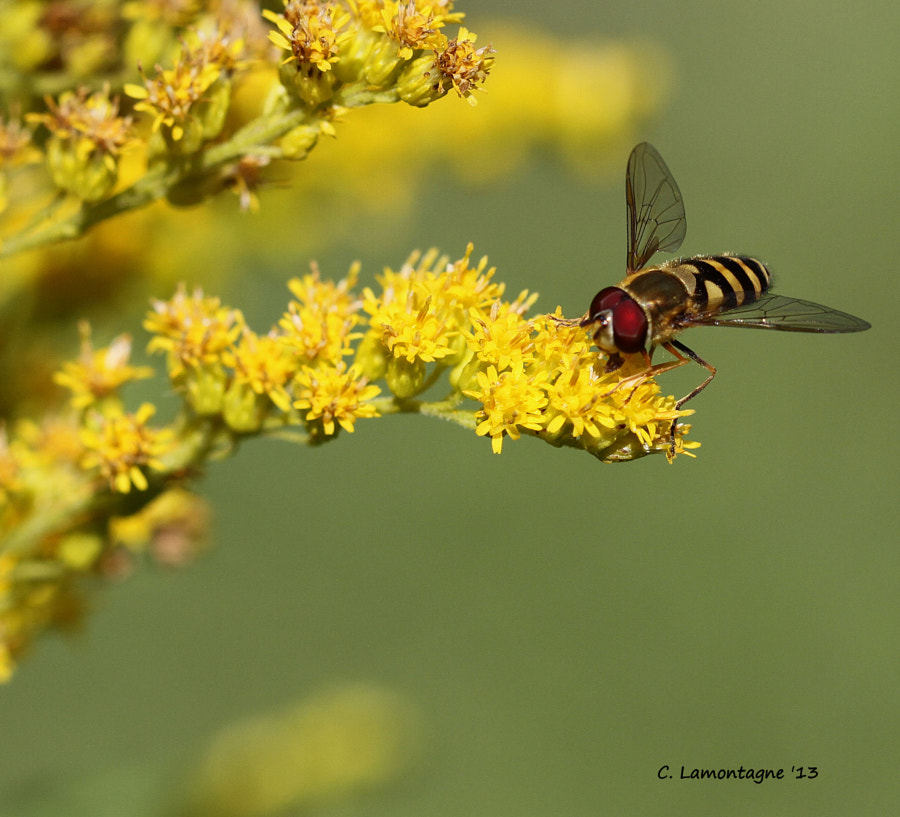 Hoverfly on Goldenrod wildflower. Hoverflies are disguised as bees to deter predators but do not sting. They are considered one of the most important pollinating insects.  Have a wonderful weekend!