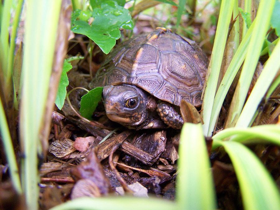 Tiny Turtle Peek-a-boo by Pamsj on 500px.com
