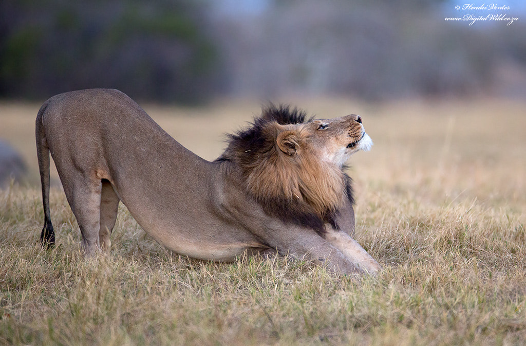 Photograph World Lion Day 2013,     10th August by Hendri Venter on 500px