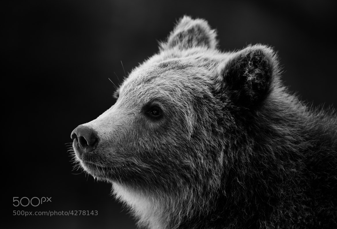 Photograph Young Bear by Peter Hausner Hansen on 500px