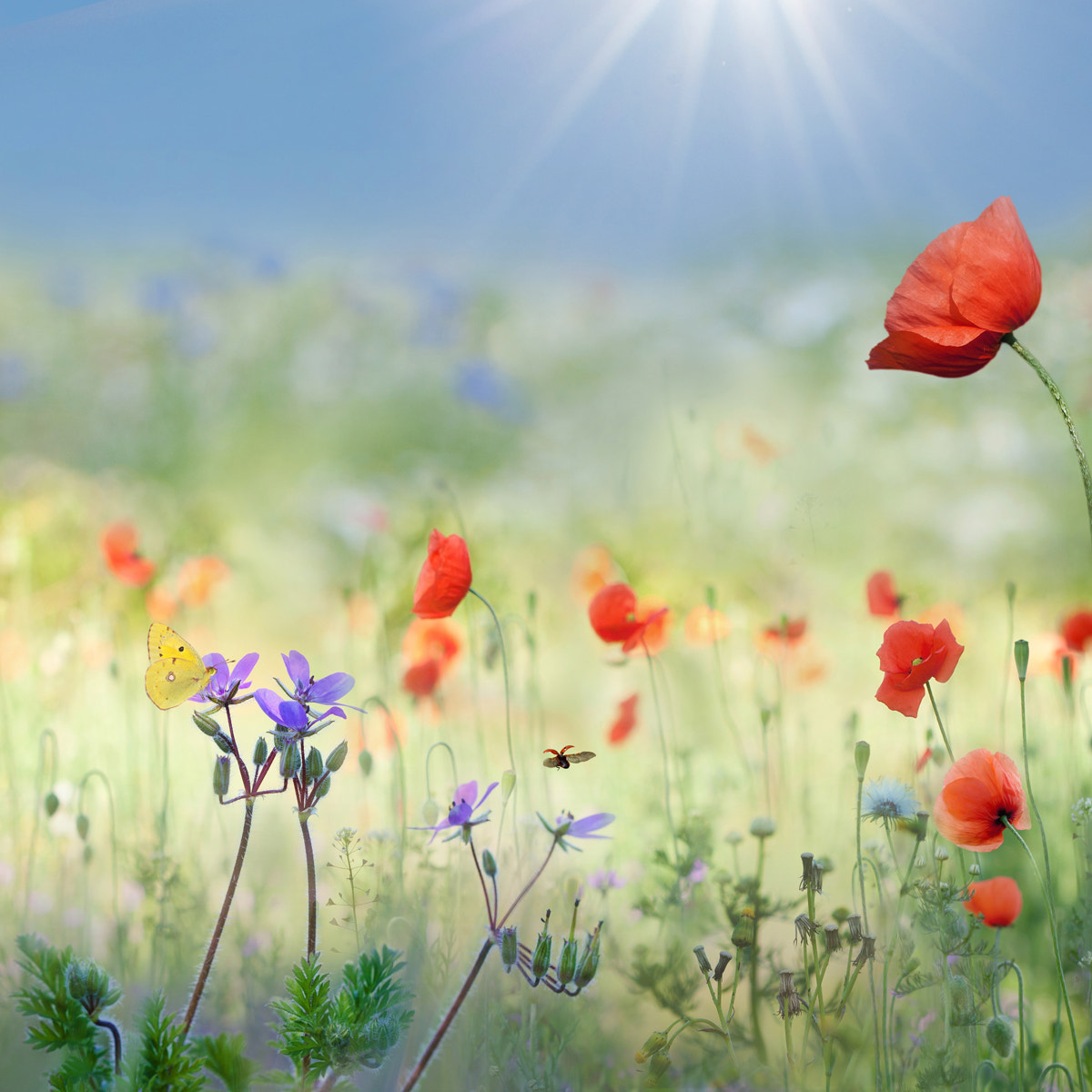 Photograph Meadow with poppies by Teuni Stevense on 500px