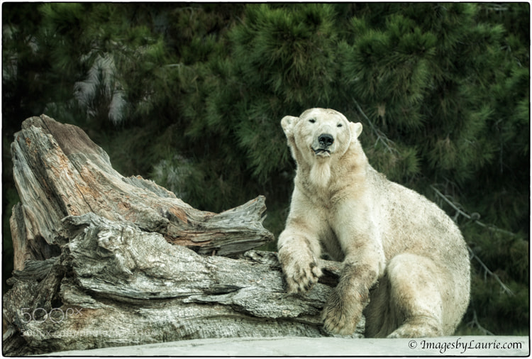 Polar Bear Poser - I couldn't have asked this bear to pose any better :-)