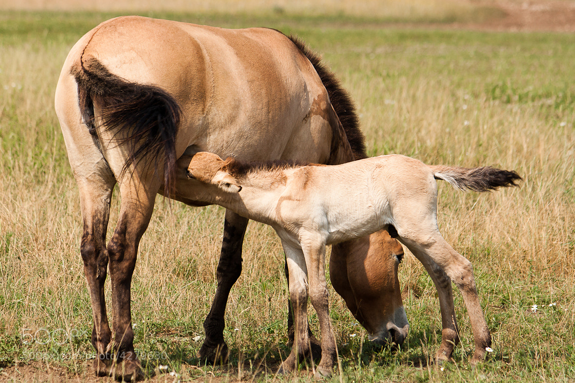 Photograph Przewalski foal eating by Laurent Staes on 500px