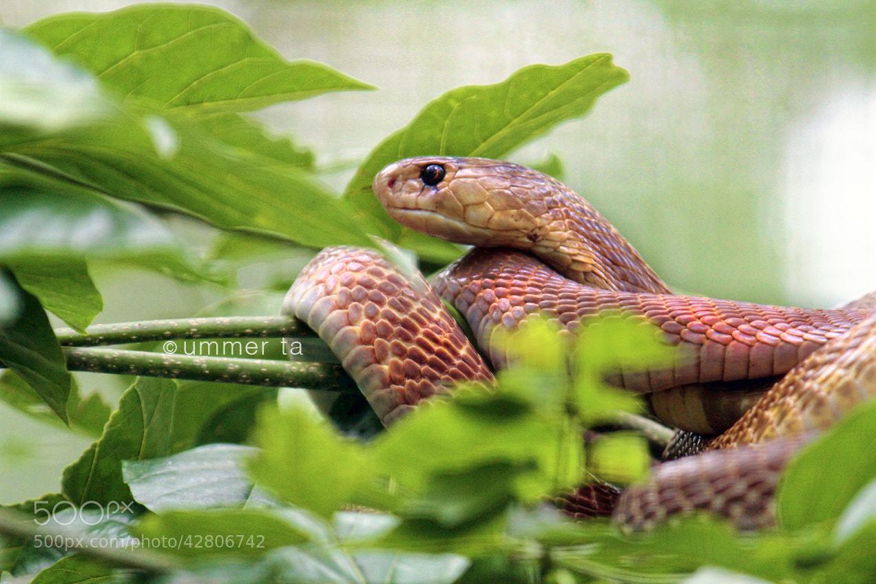 Photograph cobra by Artist Ummer Ta  on 500px