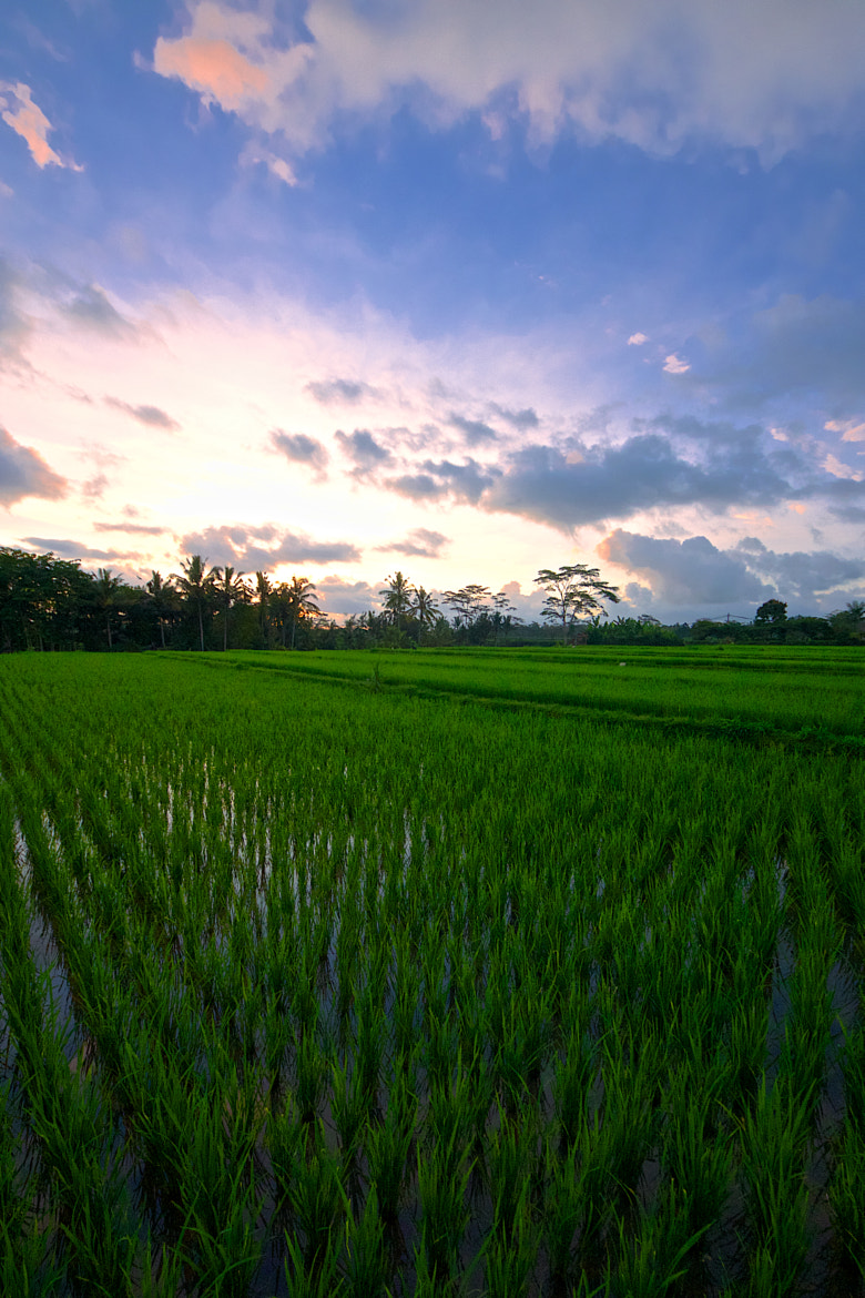 Photograph ...just rice and the sun... by Mark Hillen on 500px