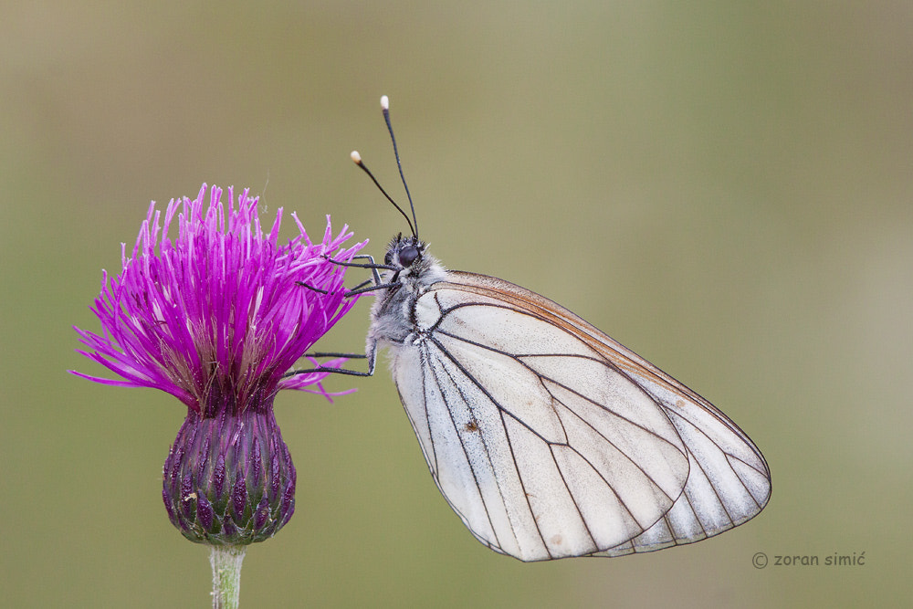 Photograph Aporia crataegi (Black-veined White) by zoran simic on 500px